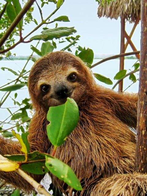 Smiling baby Brown throated Three toed sloth in the mangrove, Caribbean, Costa Rica